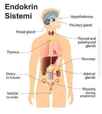 Endokrin sistemi