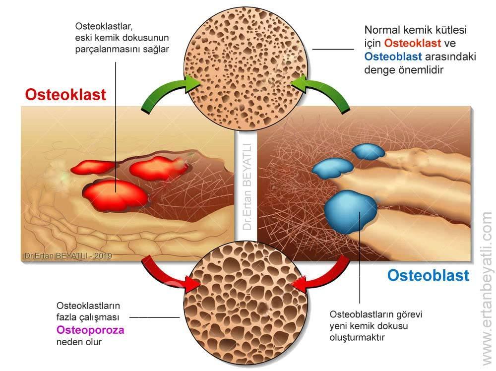 Osteoklast ve osteoblast