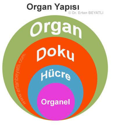 Organ yapısı -  Organel → Hücre → Doku → Organ → Organ sistemi