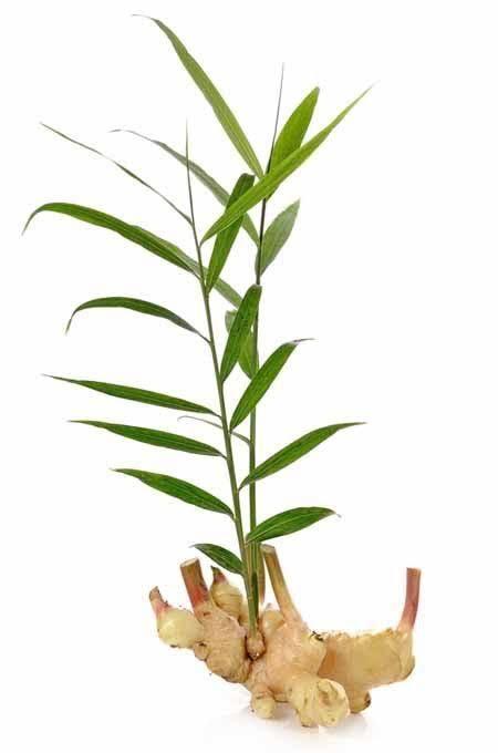 Zencefil sapı