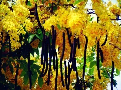 Hıyarşembe ağacı - Cassia Fistülü